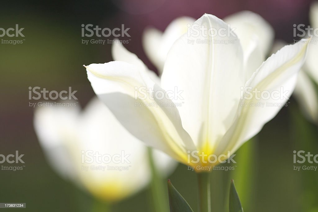 Spring Tulips royalty-free stock photo