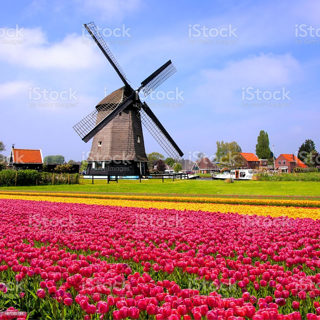 Spring tulips with Dutch windmill stock photo