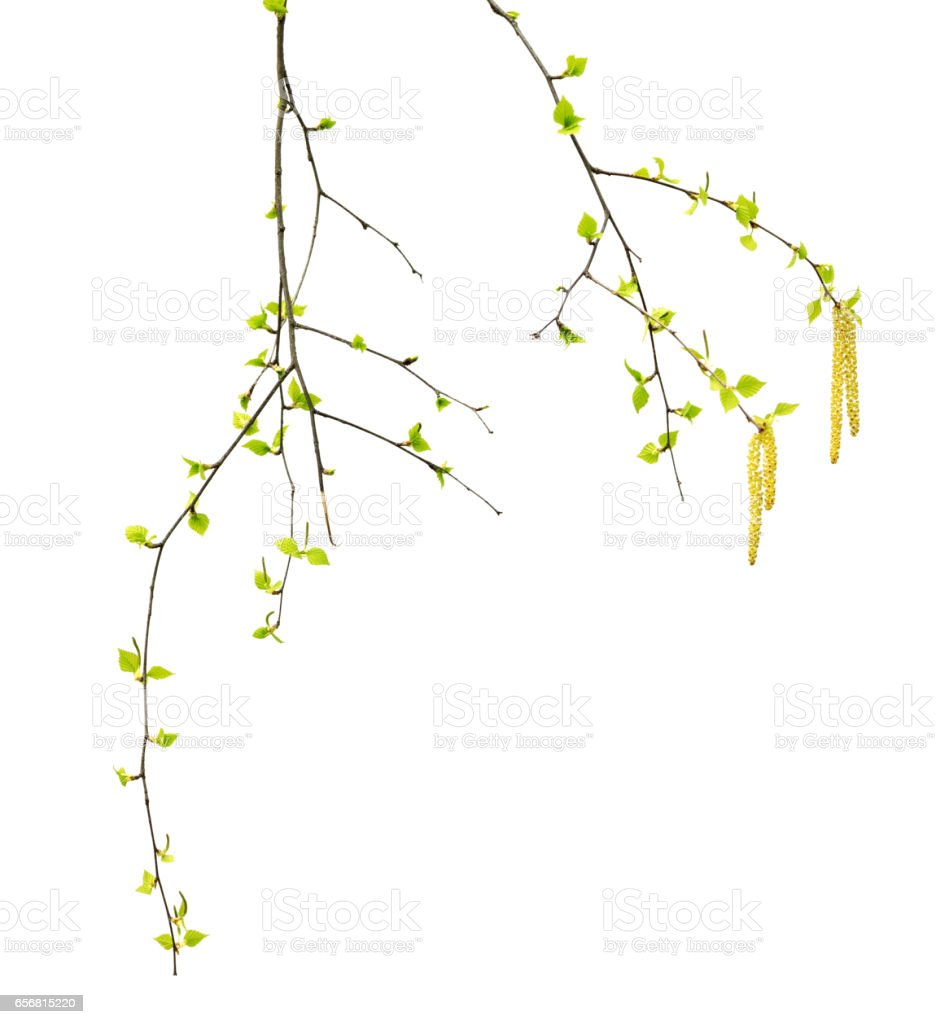 Spring twigs of birch with young green leaves and catkins stock photo