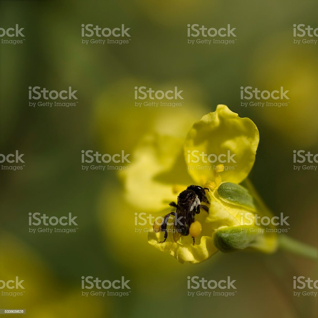 spring very tiny australian native stingless bee collects pollen stock photo