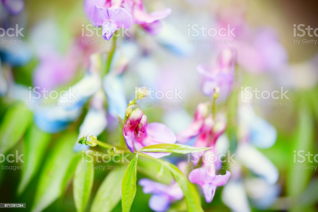 spring vetchling. also known as spring pea. stock photo