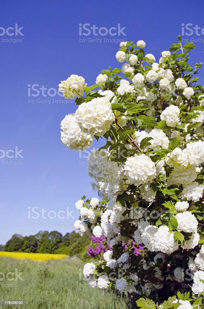 spring viburnum blossoms and farm field stock photo