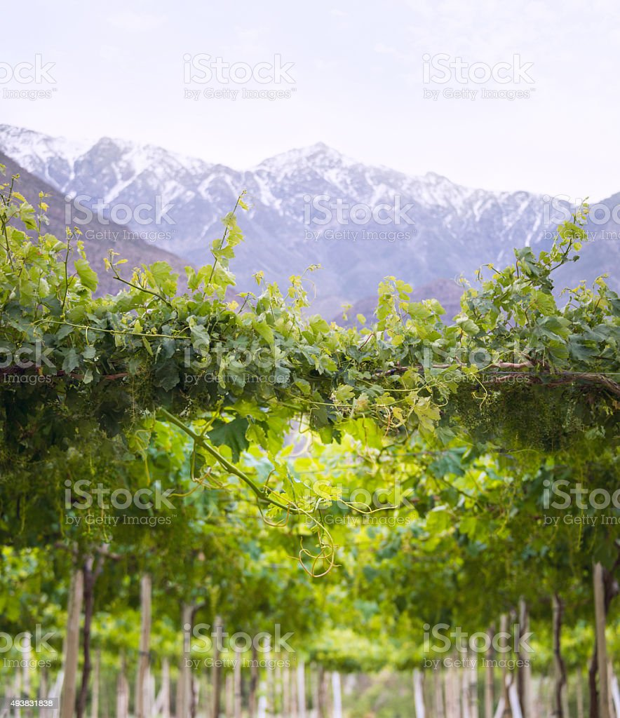 Spring Vineyard, Atacama Desert in the Coquimbo region, Chile stock photo