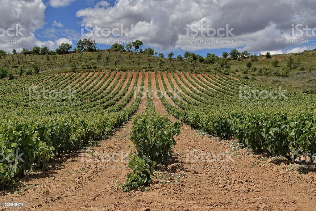 Spring vineyard in Spain stock photo
