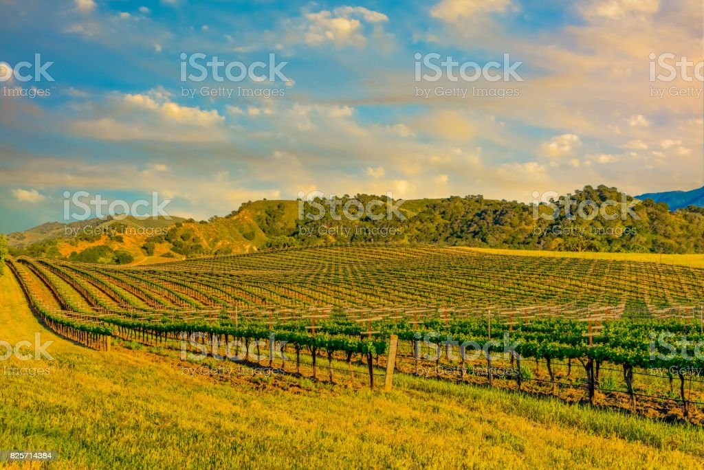 Spring vineyard in the Santa Ynez Valley Santa Barbara, CA(P) stock photo