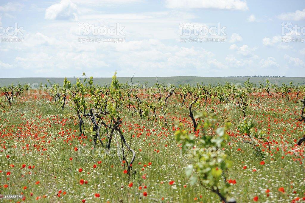 Spring Vineyard Landscape royalty-free stock photo