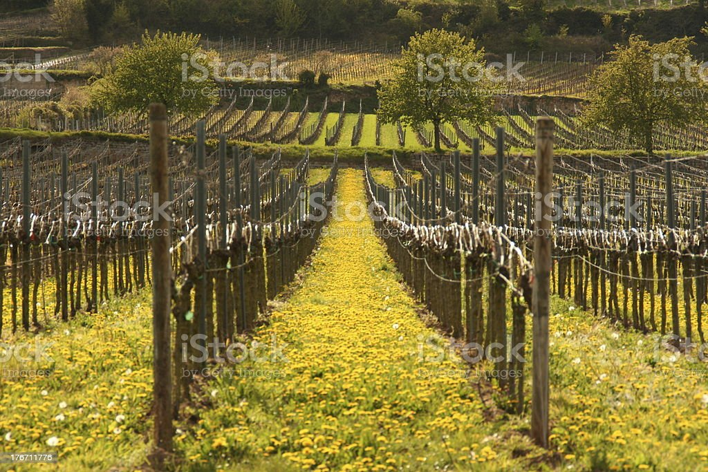 Spring Vineyard stock photo