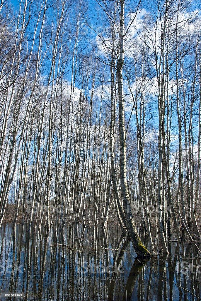 spring water in wild birches forest stock photo