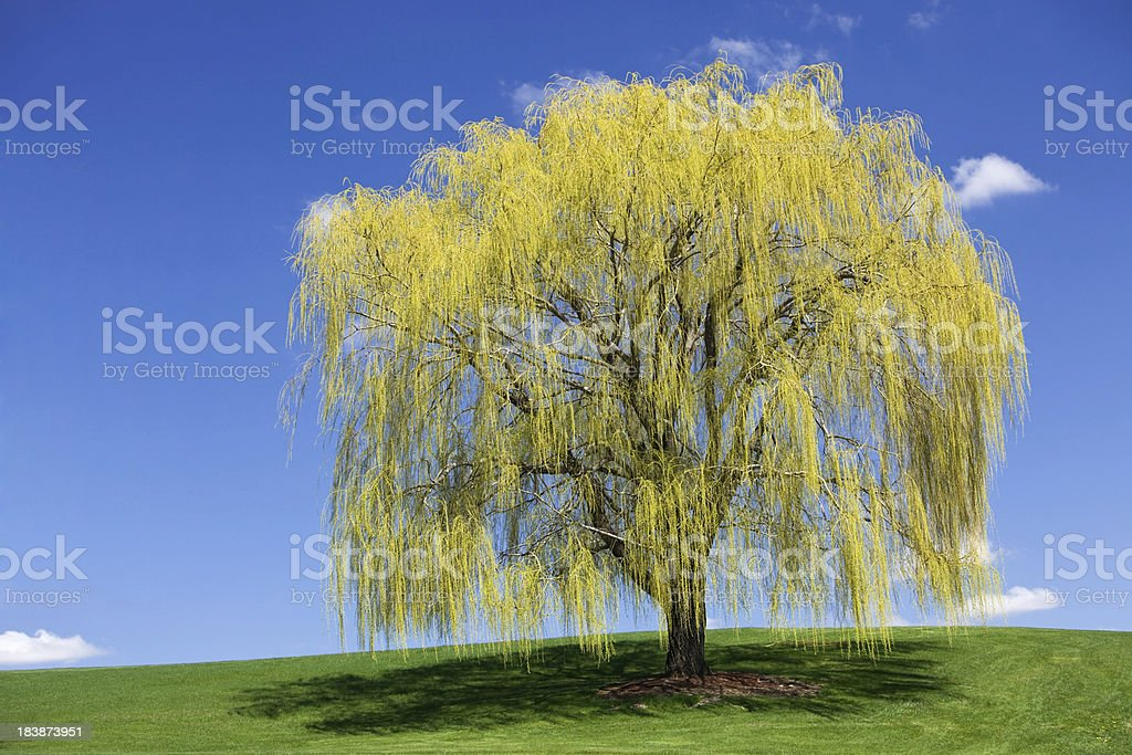 Spring Weeping Willow against a Blue Sky stock photo