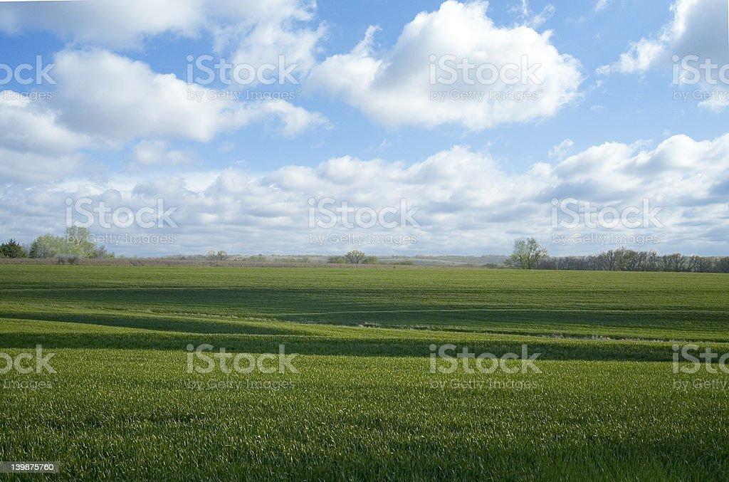 Spring Wheat 2 royalty-free stock photo