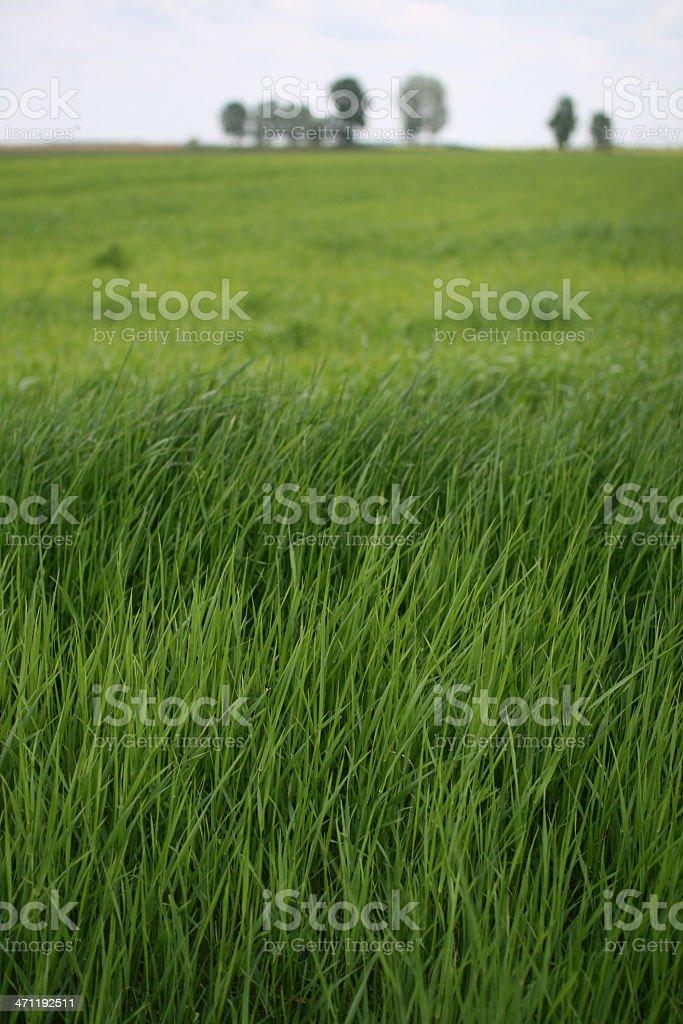 Spring Wheat Field stock photo