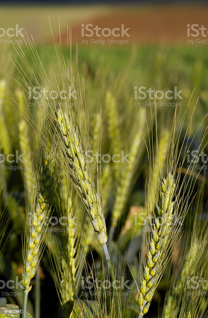 Spring Wheat stock photo