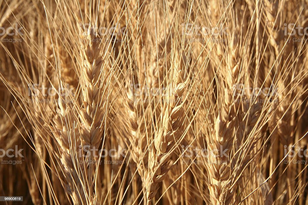 Spring Wheat Ready to Harvest royalty-free stock photo