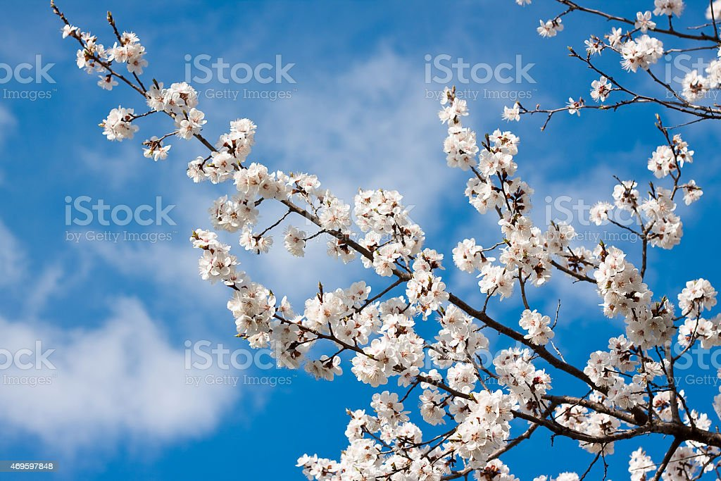 spring white blossom against blue sky stock photo