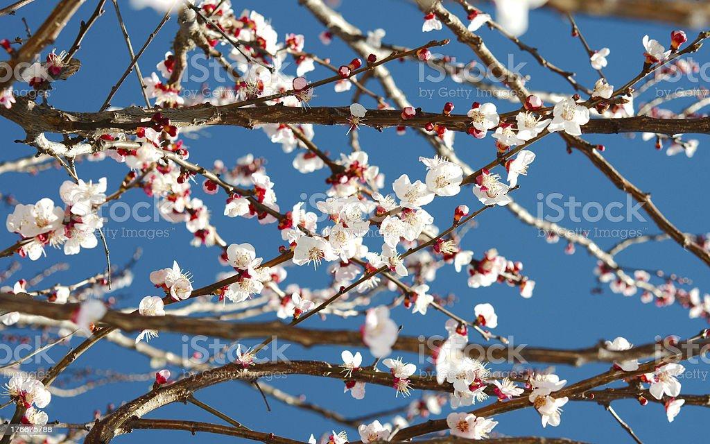 Spring white blossom tree royalty-free stock photo