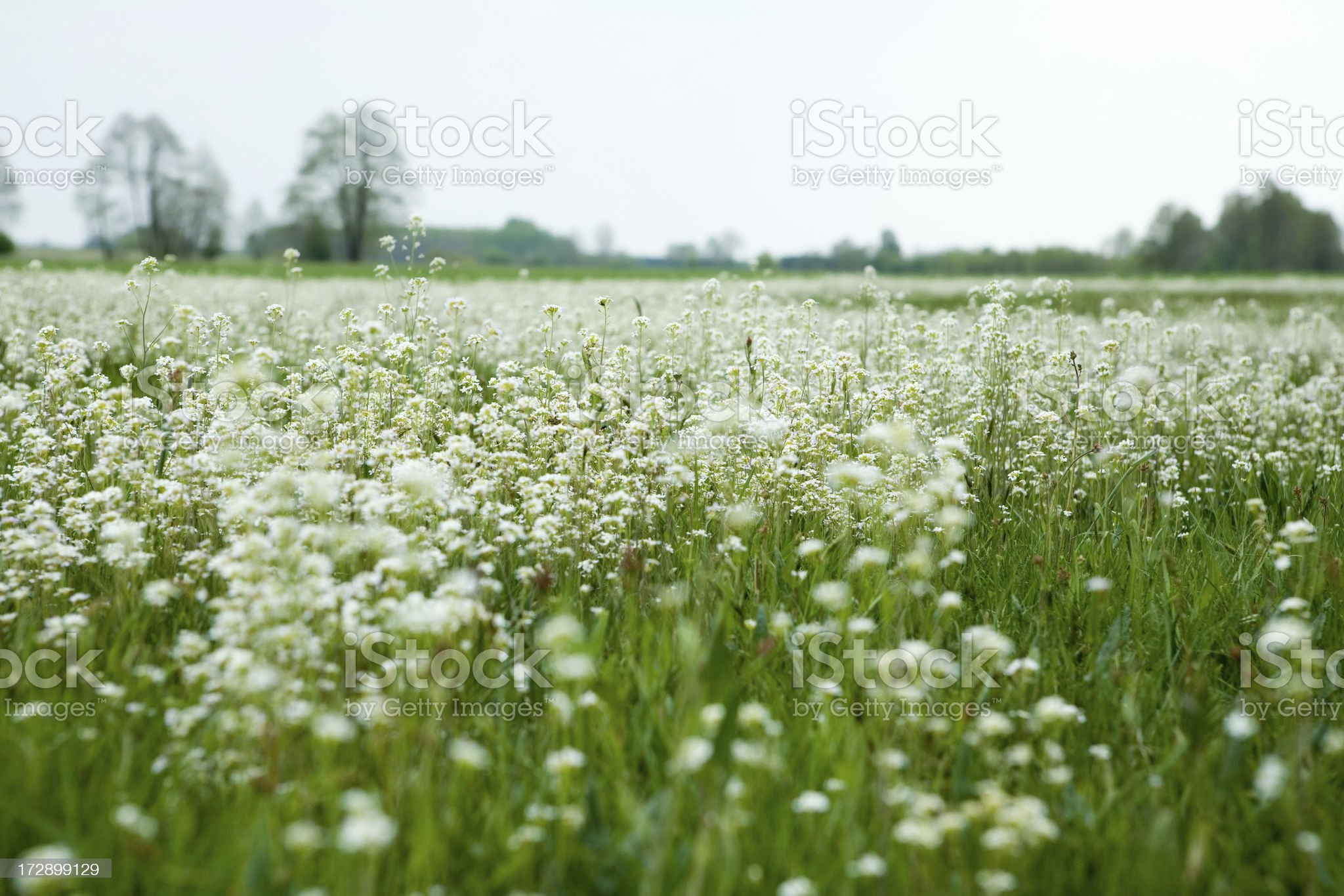 spring white flowers landscape royalty-free stock photo