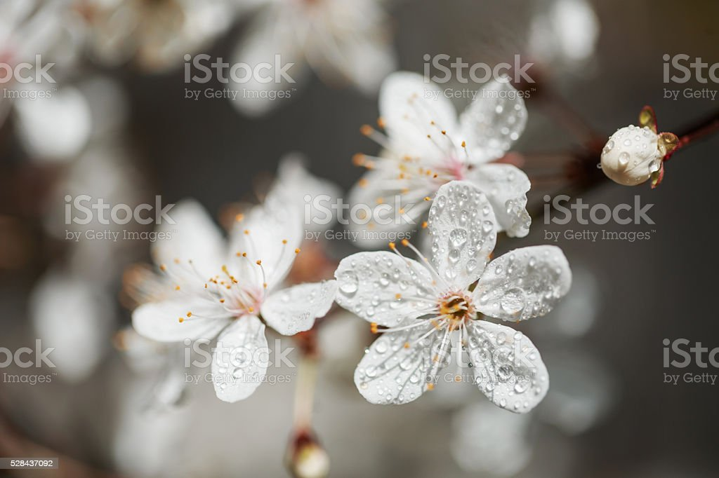 Spring white flowers with dew stock photo