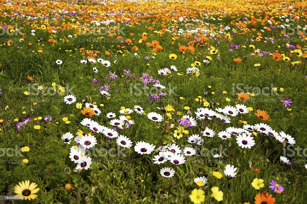 Spring Wild Flowers, South Africa stock photo