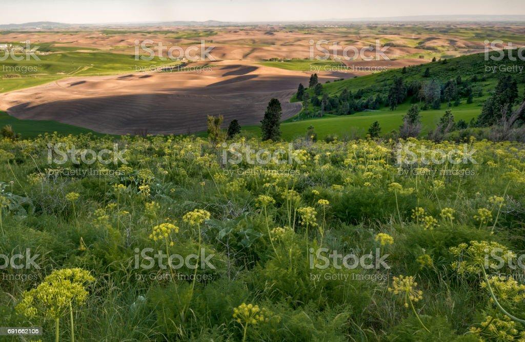 Spring Wildflower, KIamiak Butte,  Palouse stock photo