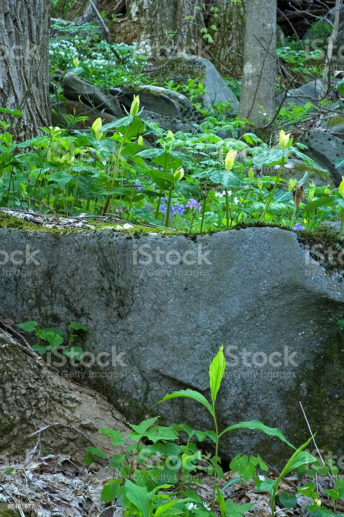 Spring Wildflowers, Great Smoky Mtns NP, TN royalty-free stock photo