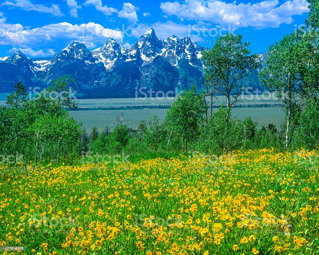 Spring wildflowers in Grand Teton National Park, WY stock photo