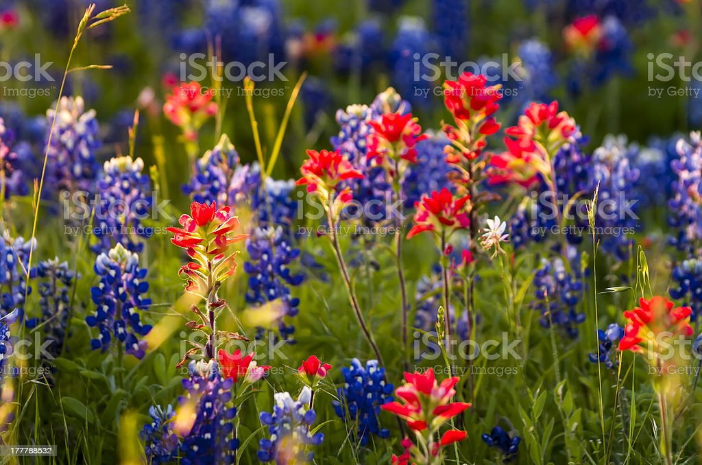 Spring Wildflowers in Texas royalty-free stock photo