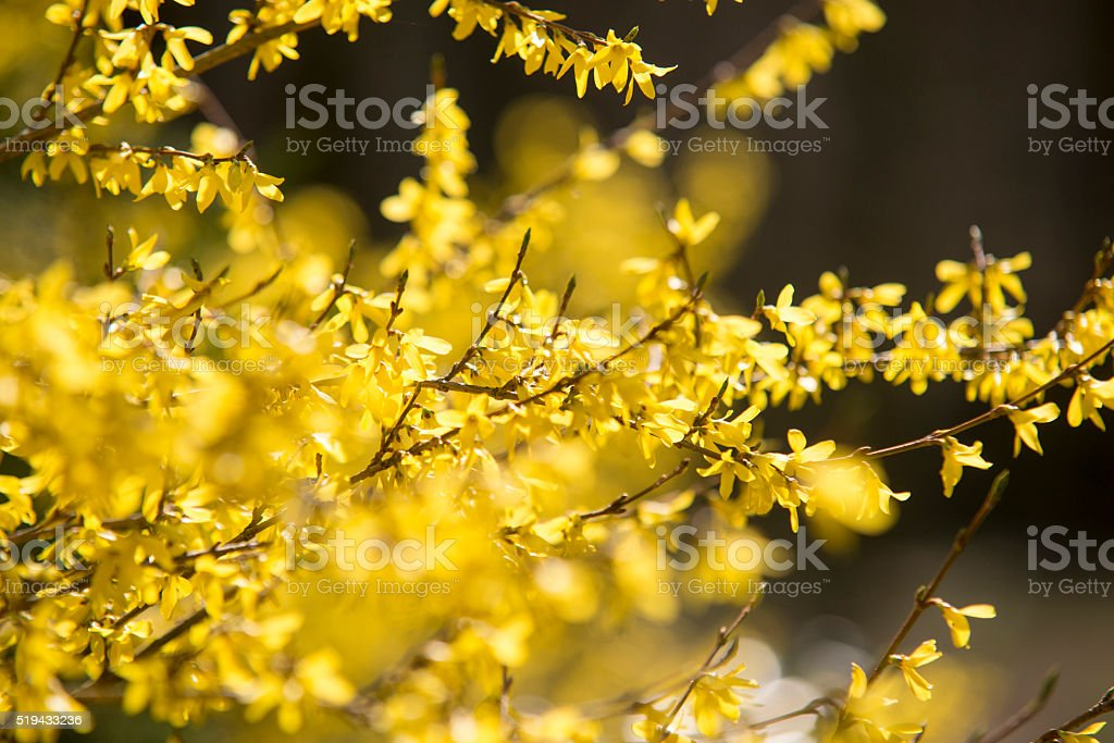 Spring yellow blossom stock photo