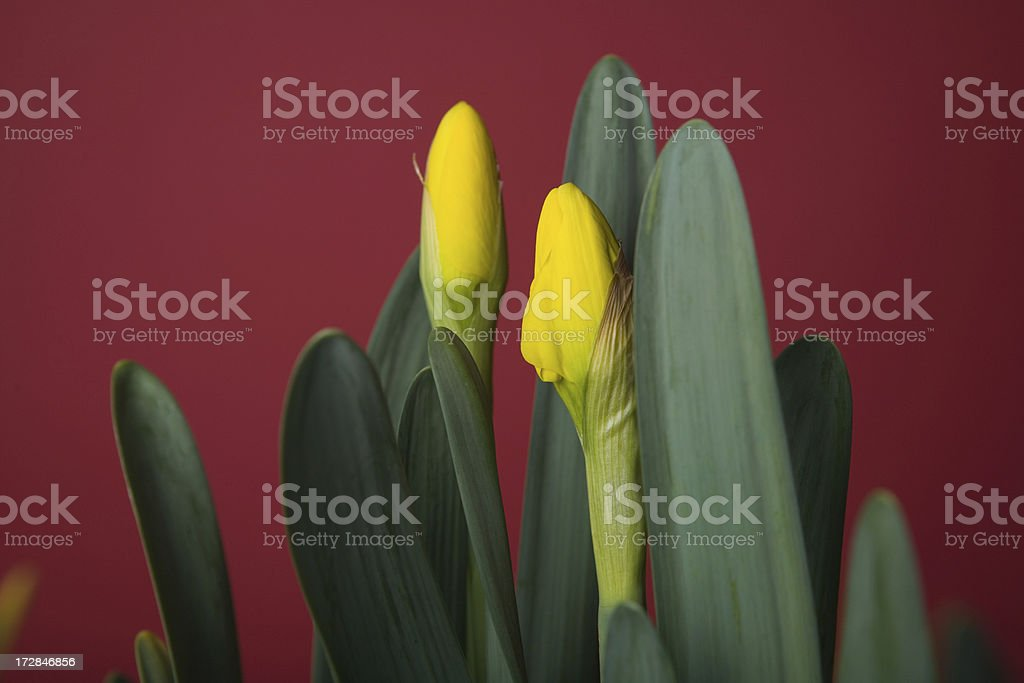 spring yellow daffodil on crimson red royalty-free stock photo