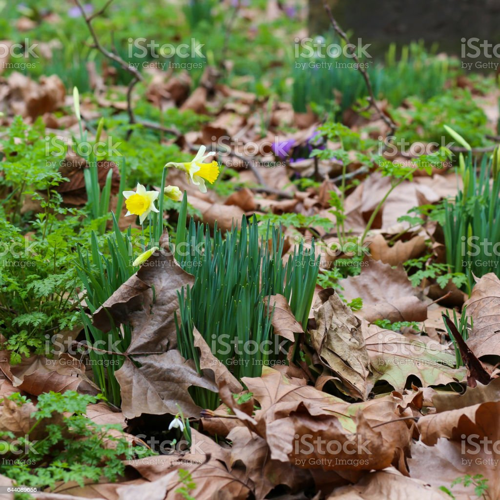 Spring yellow daffodils flowers with dry brow leaves stock photo