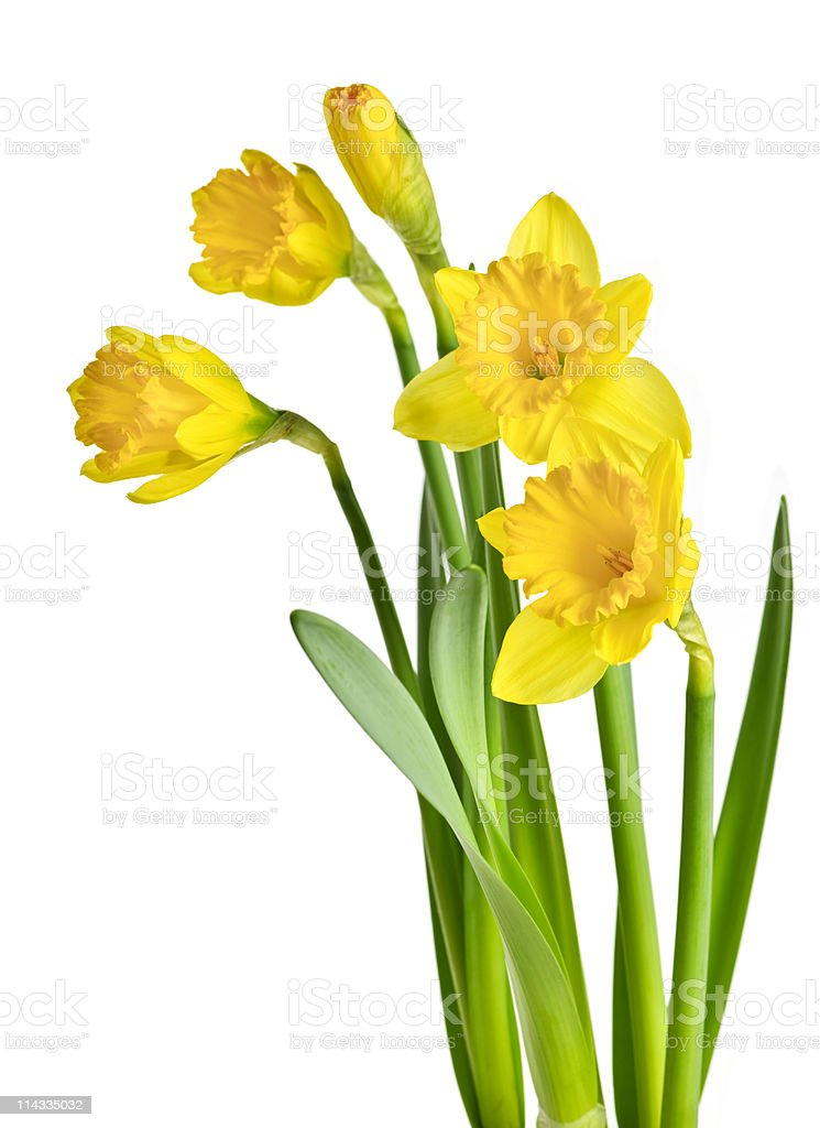 Spring yellow daffodils isolated on a white background royalty-free stock photo