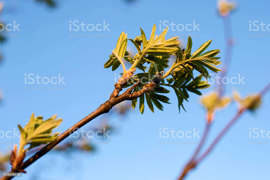 spring young leaves of rowan in the sunset stock photo