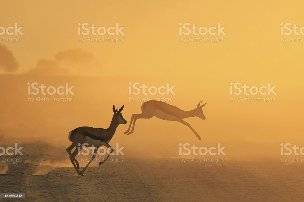 Springbok and Sunset Background of African Silhouette stock photo