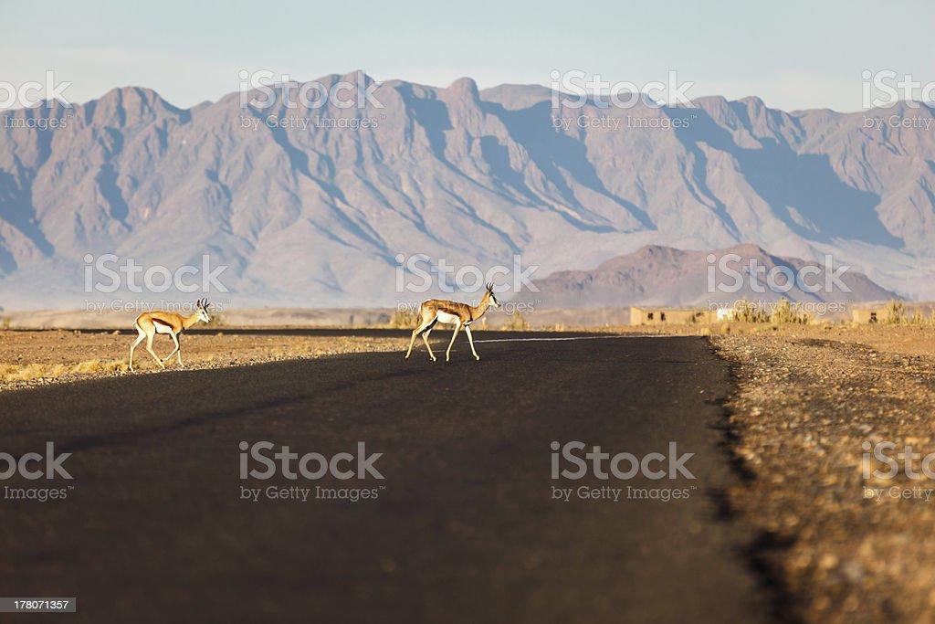 Springbok antelopes cross road in Namibian desert Africa royalty-free stock photo