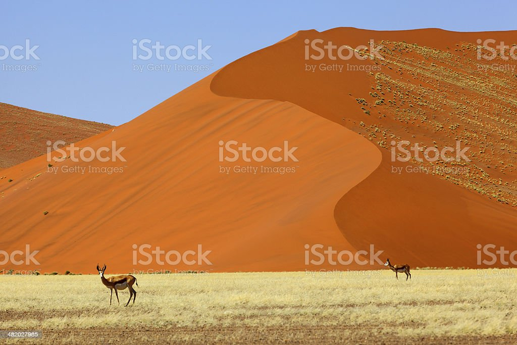 Springbok at large red sand dunes in Namib Naukluft NP stock photo