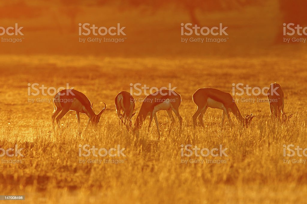 Springbok at sunrise royalty-free stock photo