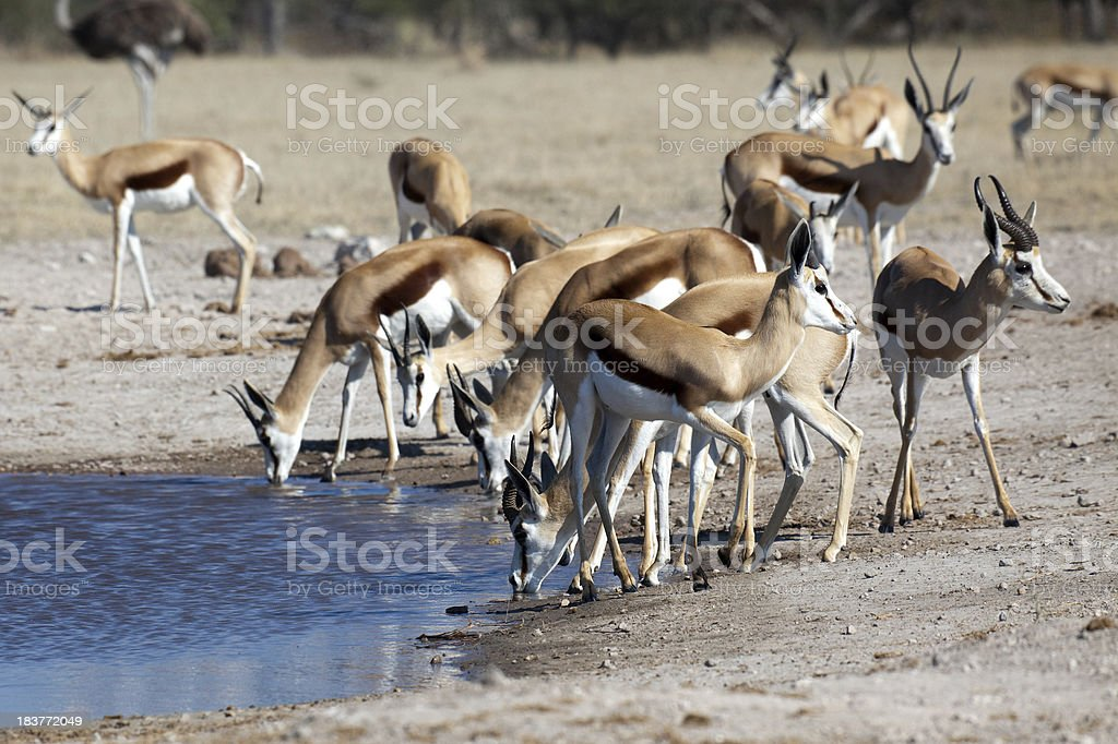 Springbok At The Waterhole stock photo
