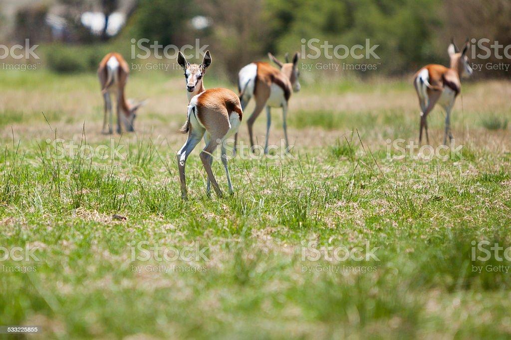 Springbok bucks standing together in the veld stock photo