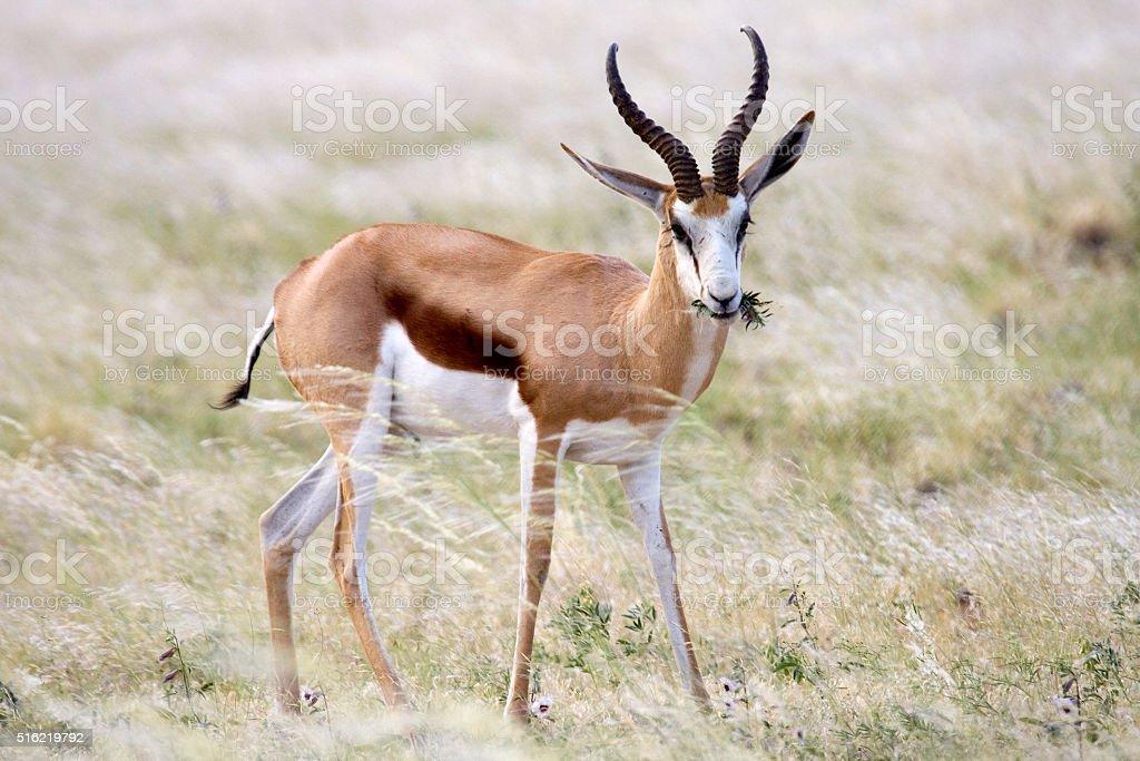 Springbok eats flowers Naukluft Mountains Namib Desert Namibia stock photo