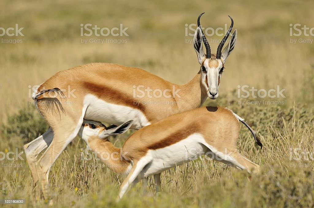 Springbok feeding its fawn stock photo