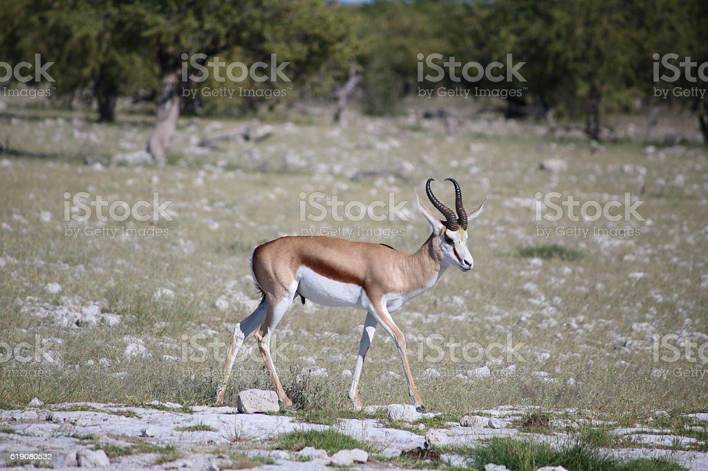 Springbok in Etosha National Park in Namibia, Africa stock photo