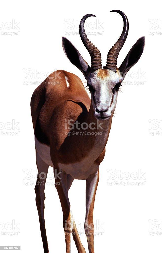 Springbok, Isolated on white stock photo