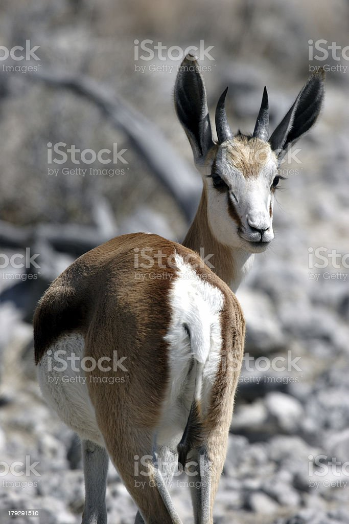 Springbok looking back royalty-free stock photo