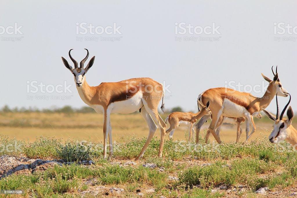 Springbok Ram - African Wildlife Background - Pride and Posture stock photo