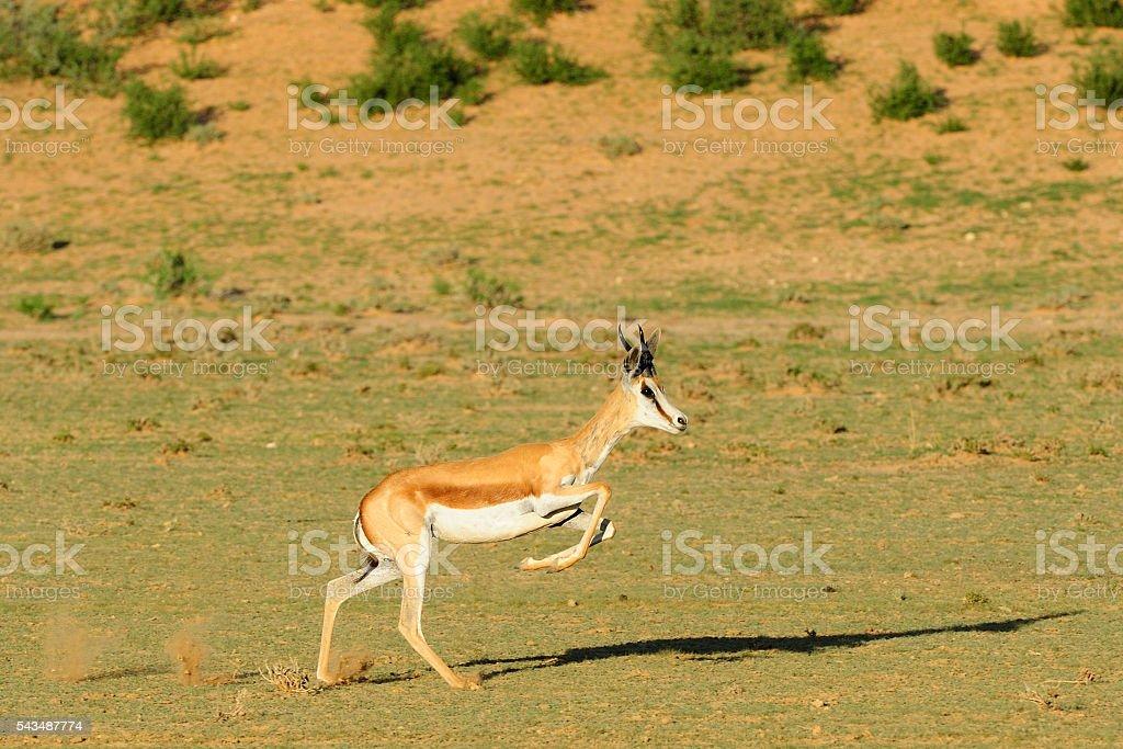Springbok running stock photo