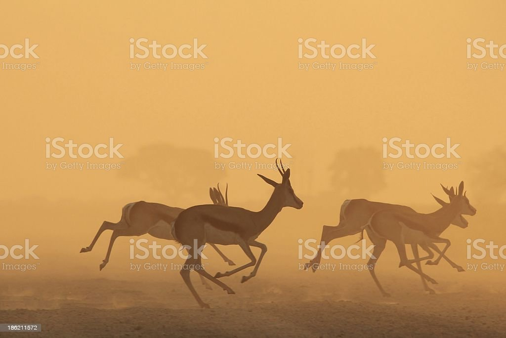 Springbok Sunset of Gold - Wildlife Background from Africa stock photo