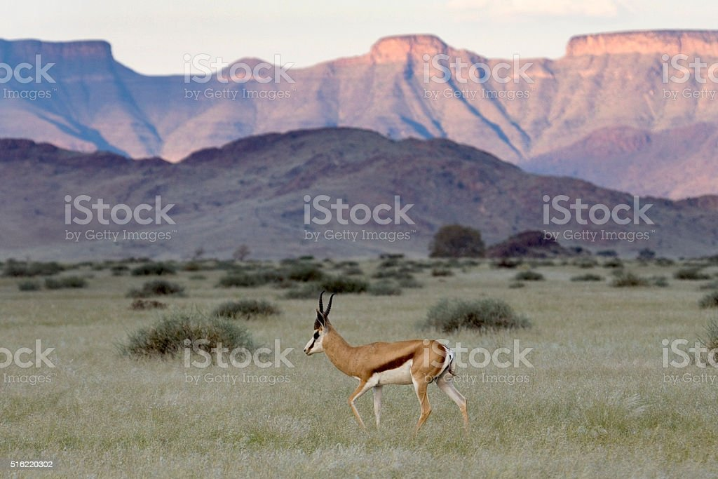 Springbok walks grasslands Naukluft Mountains Namib Desert Namibia stock photo