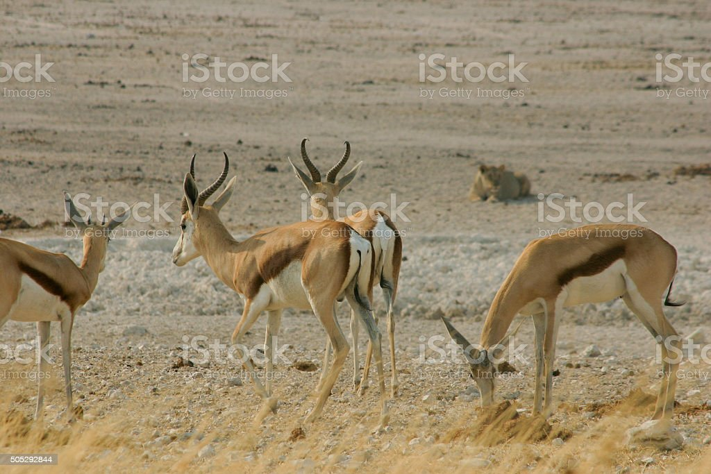 Springboks, hunted by a lion stock photo