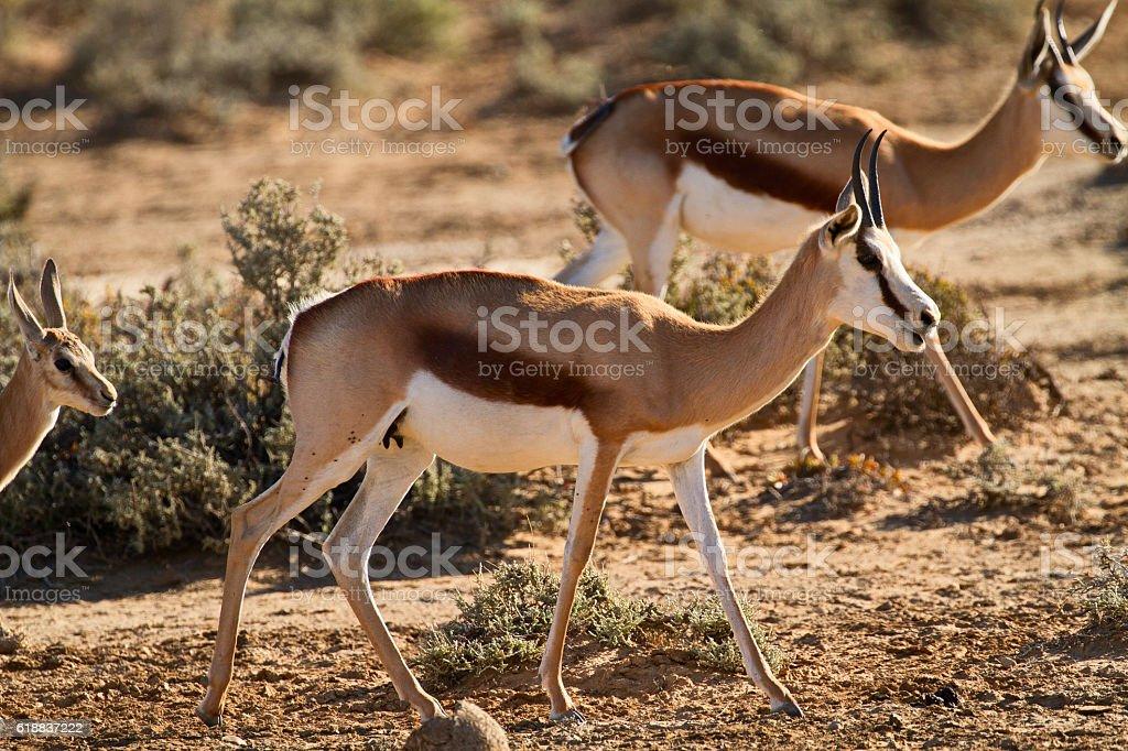 Springboks in Karoo area, South Africa stock photo