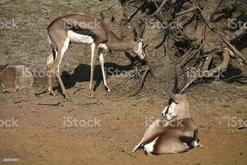 Springboks stock photo