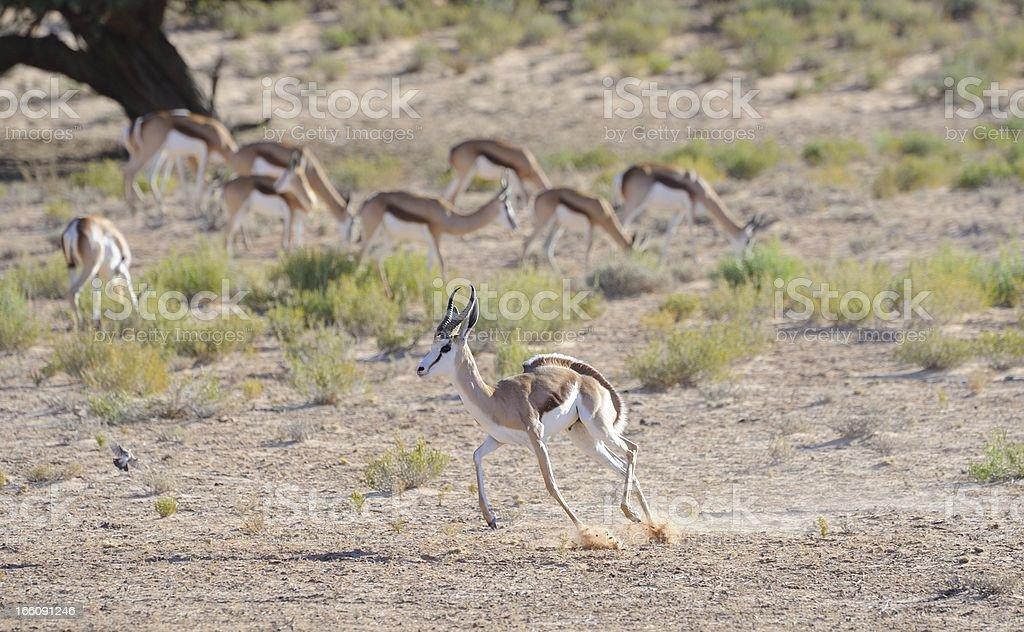 Springbuck Pronking royalty-free stock photo